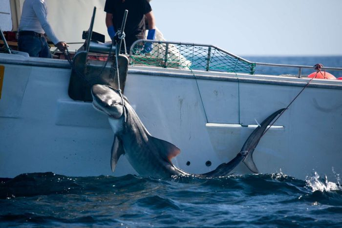 Shark cull Queensland